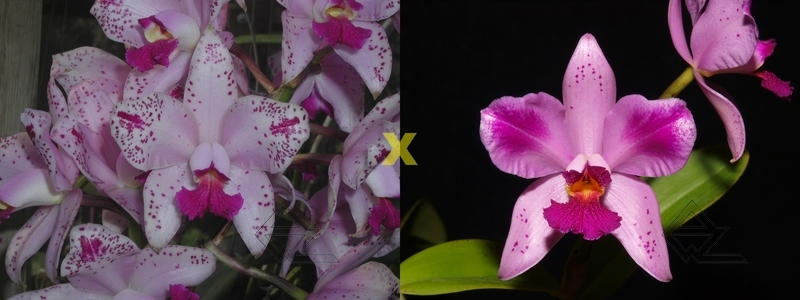 Cattleya amethystoglossa flamea ('Oasis' x petalas larga 'Campea')