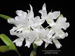 Cattleya skinneri alba 'Hakutsuru' BM/JOGA x SELF