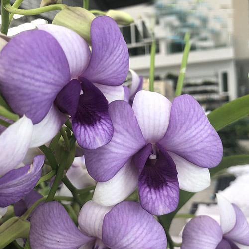 Dendrobium Two Tone Blue