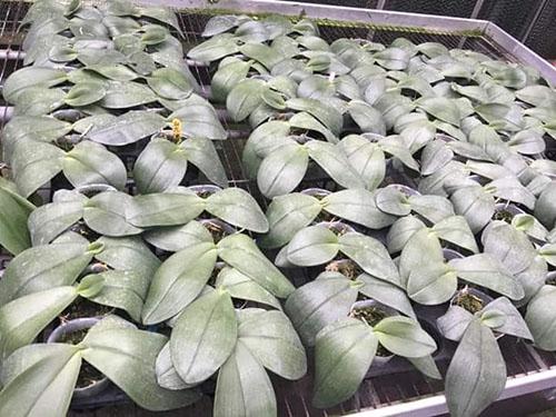 Phalaenopsis gigantea alba big type