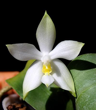 Phalaenopsis violacea alba 'Wanchiao Jungle White'