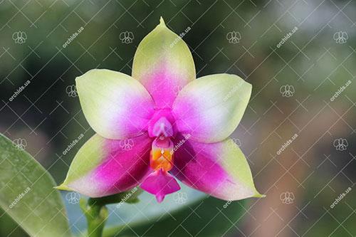 Phalaenopsis Samera x bellina