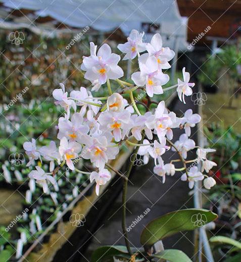 Phalaenopsis Liu's Twilight Rainbow x celebensis