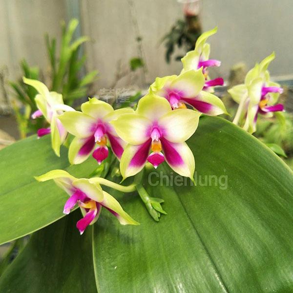 Phalaenopsis Samera 'Chien Lung'