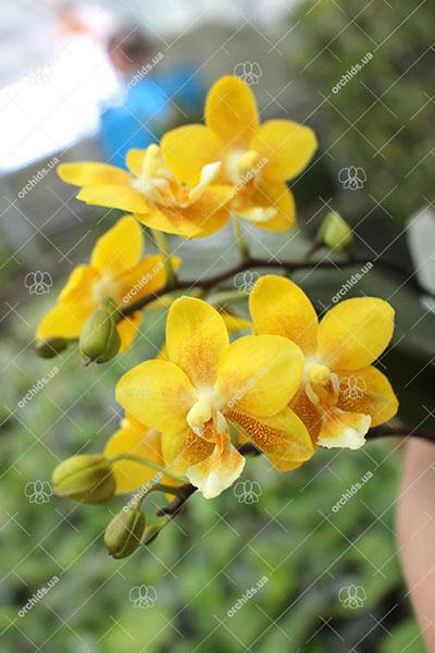 Phalaenopsis (stuartiana X Yungho Gelb Canary) x Stone Dance