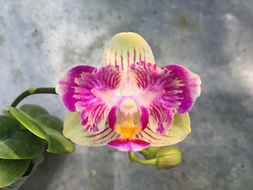 Phalaenopsis Joy little Plums