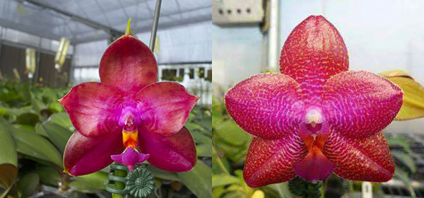 Phalaenopsis Miro Super Star 'MO198' x LD Sun Dragon 'MO98'