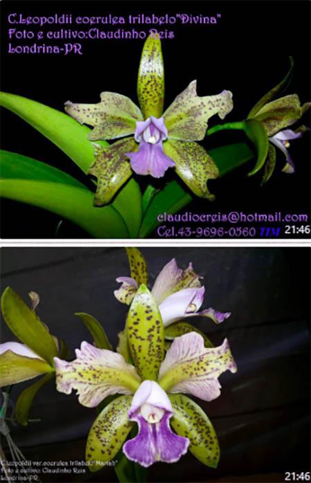 Cattleya leopoldii coerulea trilabelo 'Mariah' x 'Divina'