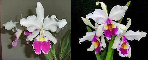 Cattleya warscewiczii 'F M B' x 'Katia'
