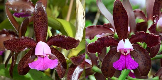 Cattleya leopoldii (C. leopoldii 'Claire' AM/AOSx C. leopoldii 'Paul' AM/AOS)