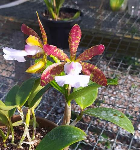 Cattleya aclandiae albescens 'Cocobongo' x self
