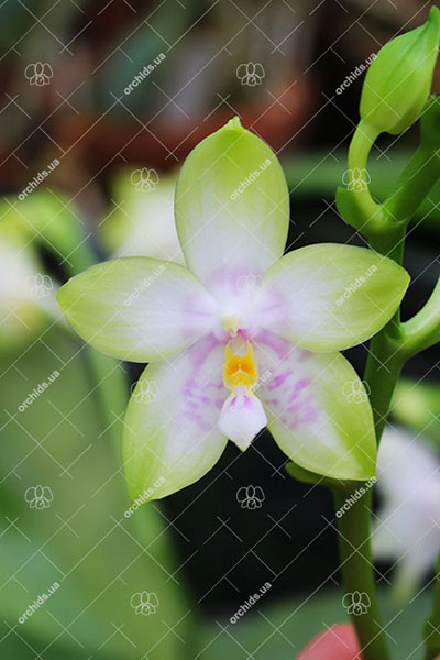 Phalaenopsis violacea alba 'Yin#2' x  amboinensis semi-alba 'Yin#1'