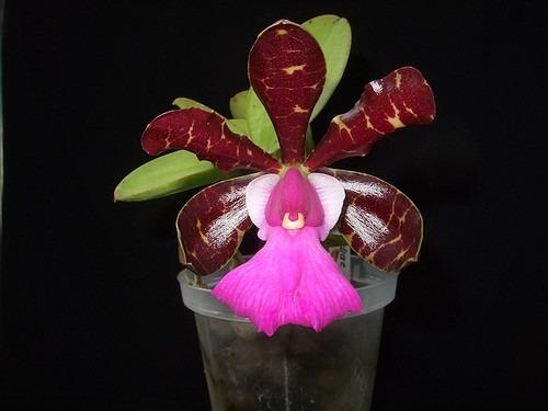 Cattleya aclandiae escura 'Minha nega' x 'XXX'