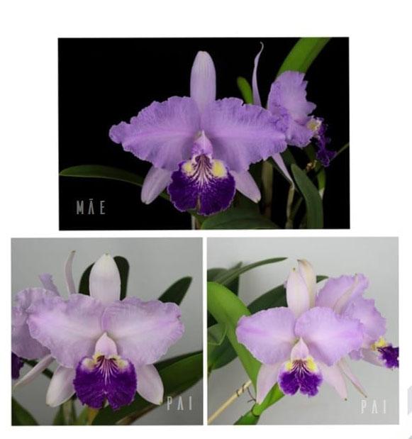 Cattleya lueddemanniana var purpurea x purpurea