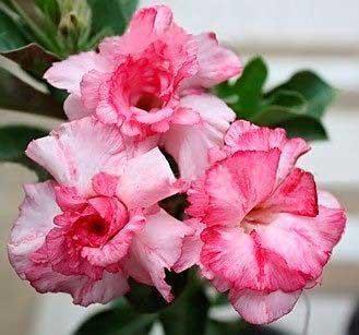 Adenium RCN Double Flower