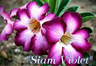 Adenium Siam Violet