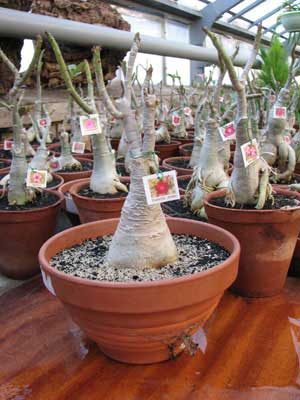 Adenium Super Ba (Green Leaves)