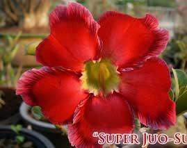 Adenium Super Jao Sua