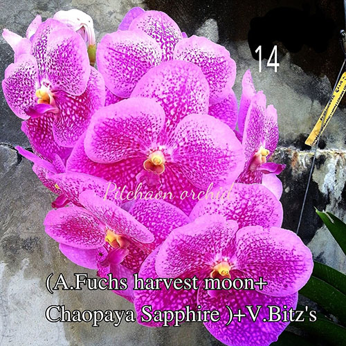 Ascocenda Fuchs Harvest Moon x Chaopaya Sapphire) x Vanda Bitz's