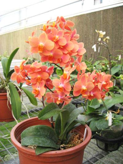 Asconopsis Jiaho's Orange 'Little Sweet Orange'