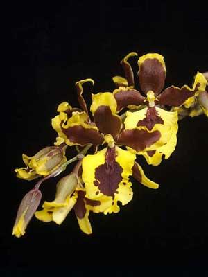 Bapticidium Hwuluduen Wasp 'Queen Bee'