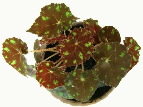 Begonia boweri 'Tiger'