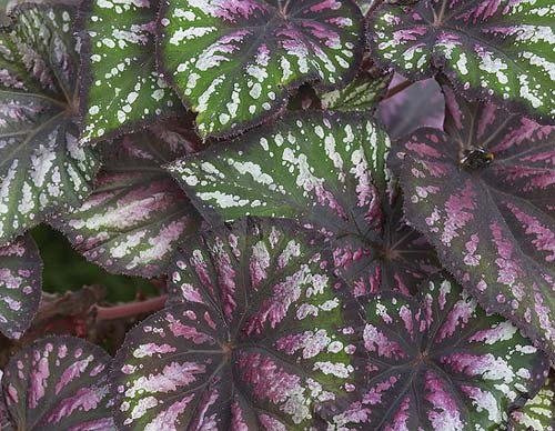 Begonia rex 'Santos'