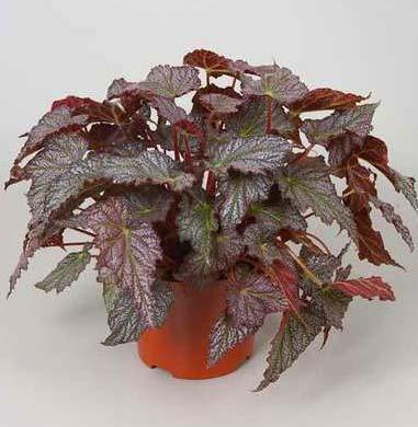 Begonia rex 'Valparaiso'