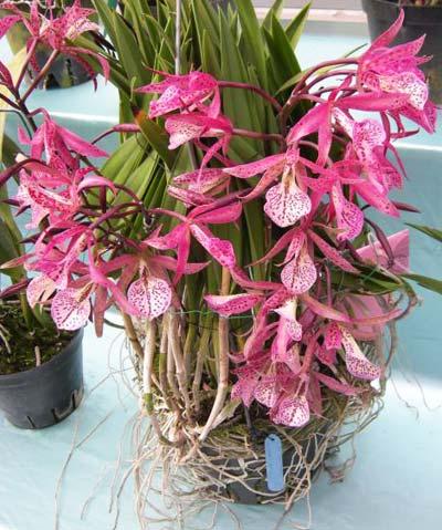 Brassanthe Maikai x Brassocattleya Star Ruby