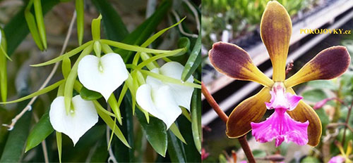 Brassavola Little Star x (Encyclia tampensis x phonesia)