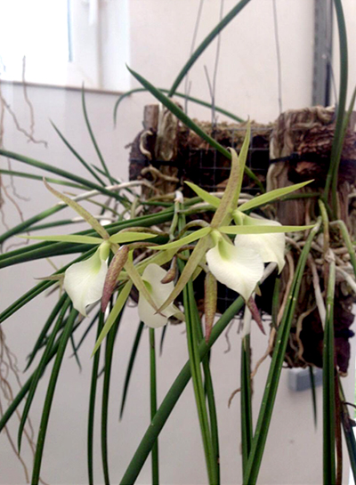Brassavola Little Star x Brassavola perrinii