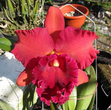 Brassolaeliocattleya Eve Marie Barnett 'Magnificent Watermelon Gold' x Blc. Oconee x Sunset Say 'Birds of Paradise' x Blc. Guaninm City