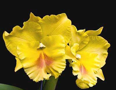 Brassolaeliocattleya Haadyai Delight 'Bangprom Gold'