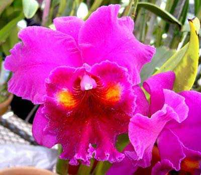 Brassolaeliocattleya Herons Roon 'Grape Land'