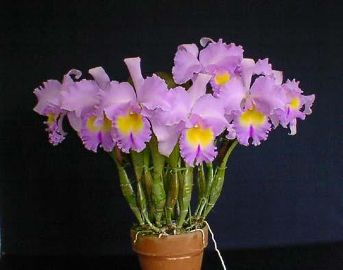 Brassolaeliocattleya Pamela Hetherington