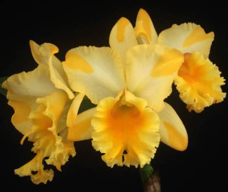 Brassolaeliocattleya Suzuki´s Golden Stipes