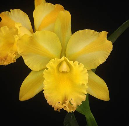 Brassolaeliocattleya Suzuki's Yellow Flare