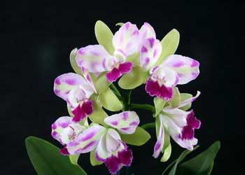 Brassolaeliocattleya Village Chief North 'Green Genuie'