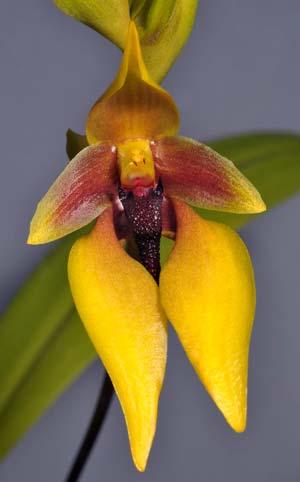 Bulbophyllum amplebracteatum