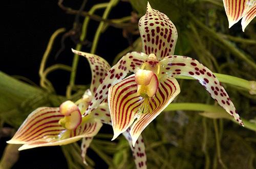 Bulbophyllum costatum