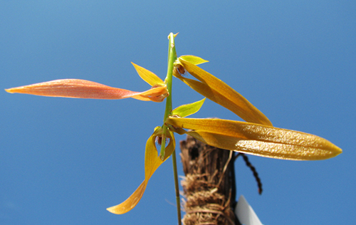 Bulbophyllum khaoyaiensis