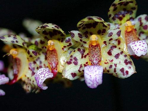 Bulbophyllum violaceolabellum