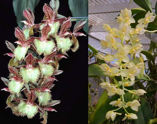 Catasetum Frilly Doris 'SVO II' x Catasetum tigrinum 'SVO'
