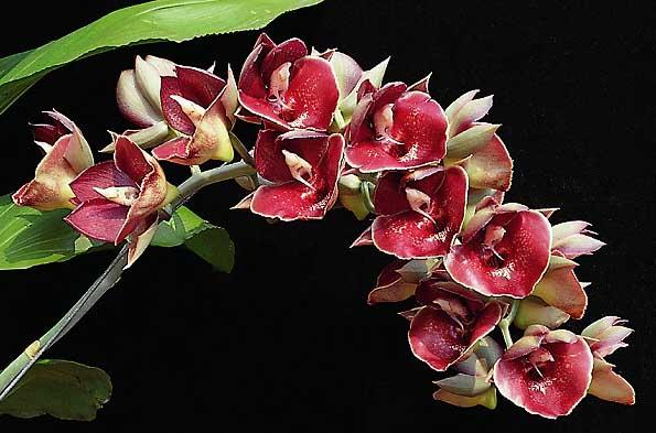 Catasetum Orchidglade Jack of Diamond