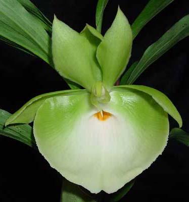 Catasetum pileatum 'Jumbo Green Gold'