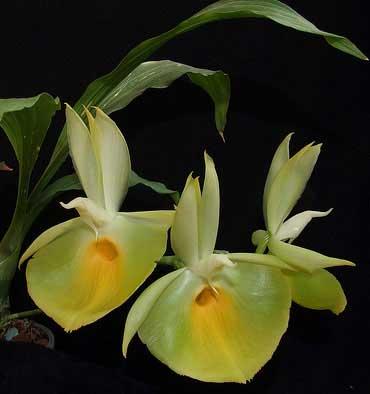 Catasetum pileatum 'Oro Verde'