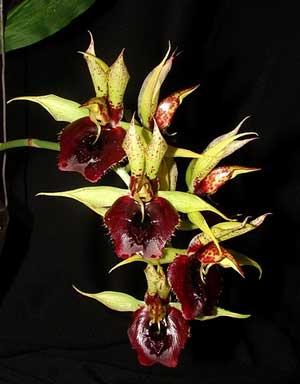 Catasetum (schmidtianum x Orchidglade)