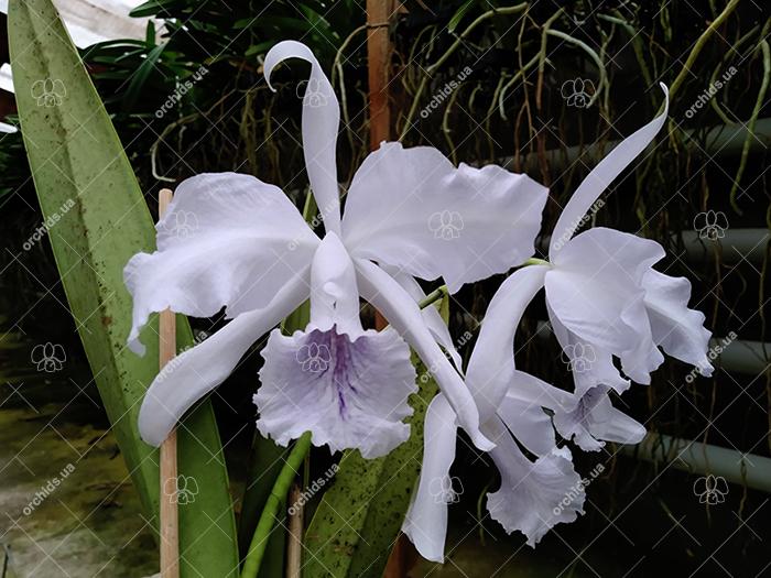 Cattleya Amazone Coerulea