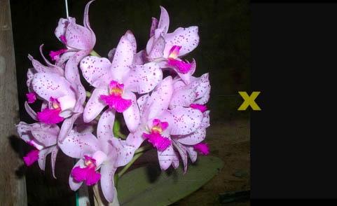 Cattleya amethystoglossa 'FPA' x Cattleya amethystoglossa 'ESI'