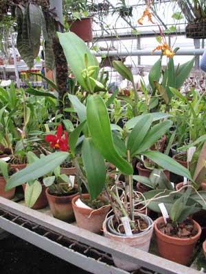 Cattleya Belairensis